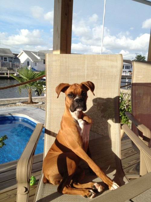 boxer in chair